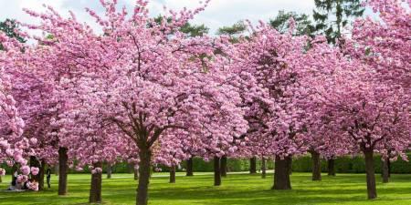 Cherry-blossom trading strategy